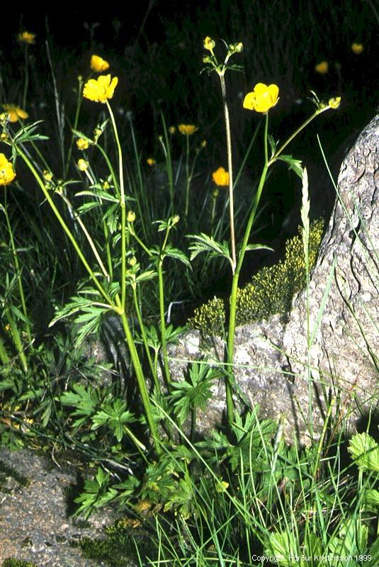 Mynd af Brennisóley (Ranunculus acris)