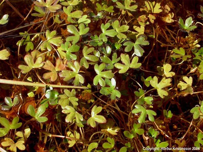 Mynd af Trefjasóley (Ranunculus hyperboreus)