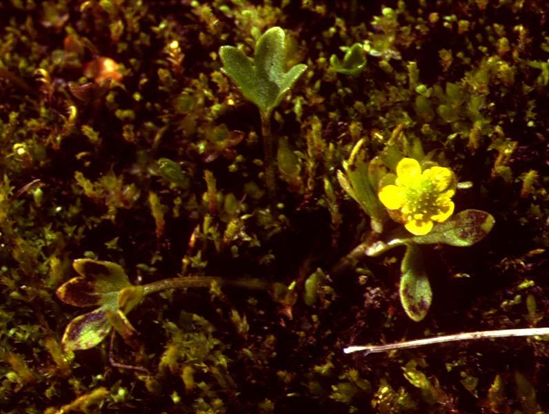 Mynd af Dvergsóley (Ranunculus pygmaeus)