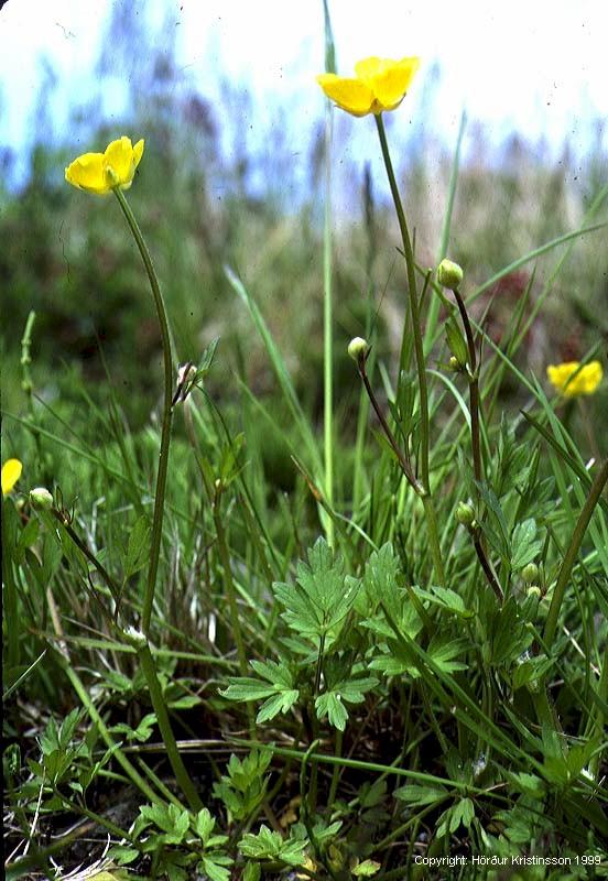 Mynd af Skriðsóley (Ranunculus repens)