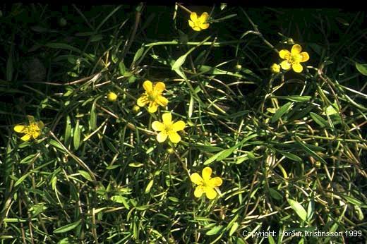Mynd af Flagasóley (Ranunculus reptans)