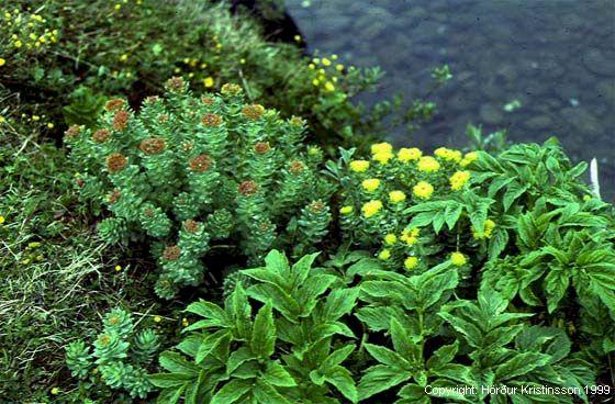 Mynd af Burnirót (Rhodiola rosea)