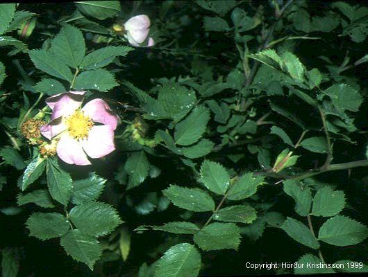 Mynd af Glitrós (Rosa dumalis)