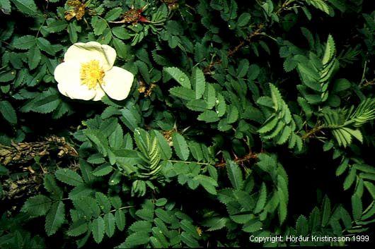 Mynd af Þyrnirós (Rosa pimpinellifolia)