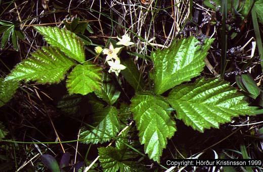 Mynd af Hrútaber (Rubus saxatilis)