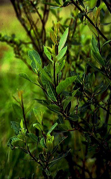 Mynd af Viðja (Salix myrsinifolia)