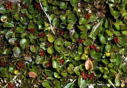 Mynd af Grasvíðir (Salix herbacea)