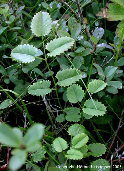 Mynd af Blóðkollur (Sanguisorba officinalis)