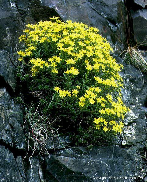 Mynd af Gullsteinbrjótur (Saxifraga aizoides)