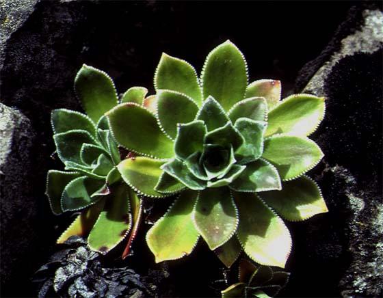 Mynd af Klettafrú (Saxifraga cotyledon)