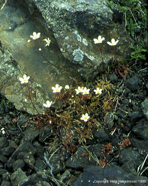 Mynd af Mosasteinbrjótur (Saxifraga hypnoides)