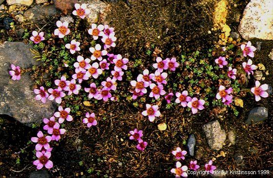 Mynd af Vetrarblóm (Saxifraga oppositifolia)