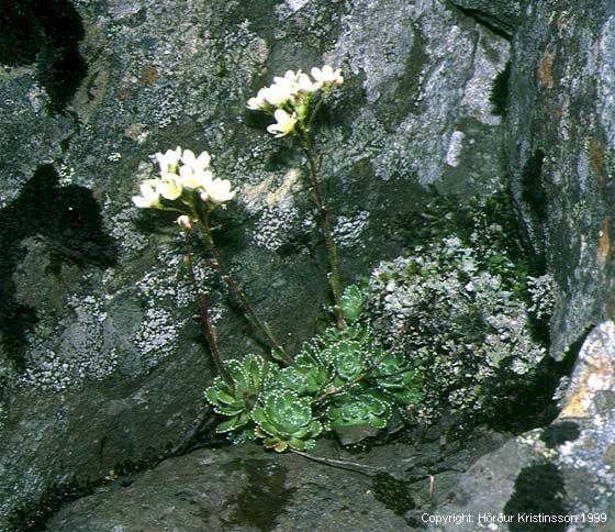 Mynd af Bergsteinbrjótur (Saxifraga paniculata)