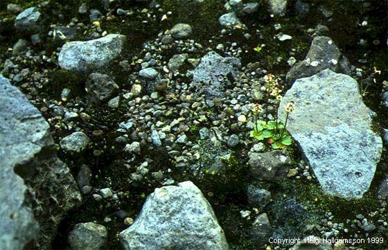 Mynd af Dvergsteinbrjótur (Saxifraga tenuis)