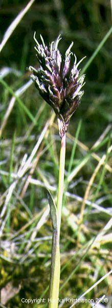 Mynd af Blátoppa (Sesleria albicans)