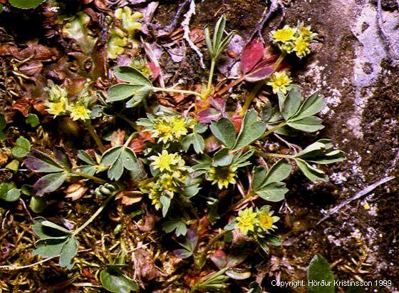 Mynd af Fjallasmári (Sibbaldia procumbens)