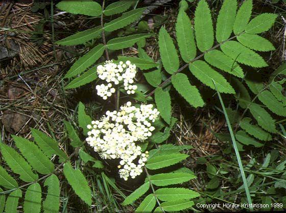 Mynd af Reynir (Sorbus aucuparia)