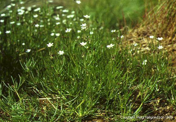 Mynd af Skurfa (Spergula arvensis)