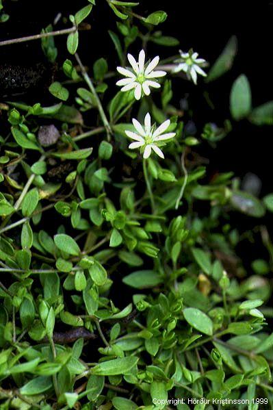 Mynd af Stjörnuarfi (Stellaria crassifolia)
