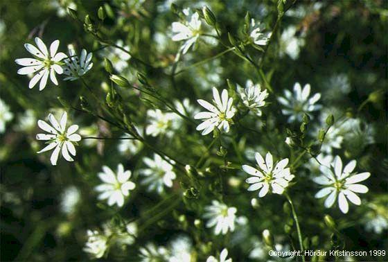 Mynd af Akurarfi (Stellaria graminea)