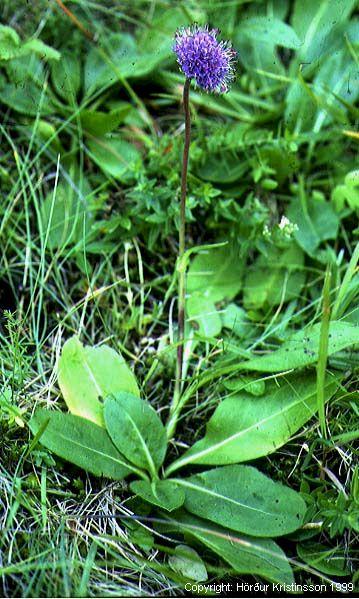 Mynd af Stúfa (Succisa pratensis)