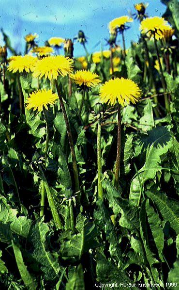 Mynd af Túnfífill (Taraxacum officinale)