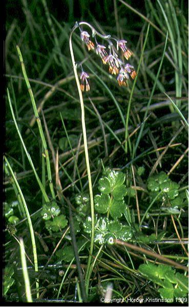 Mynd af Brjóstagras (Thalictrum alpinum)