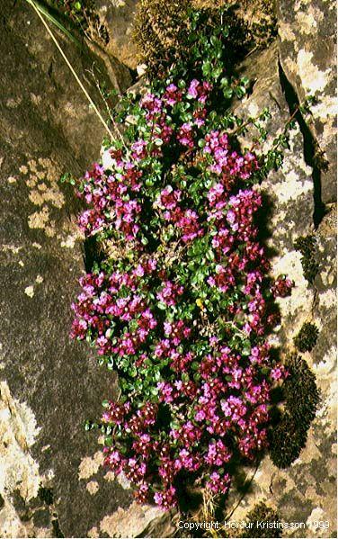 Mynd af Blóðberg (Thymus praecox)