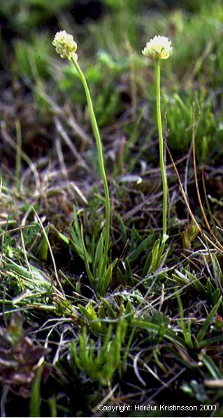 Mynd af Sýkigras (Tofieldia pusilla)