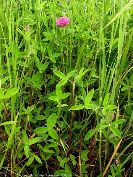 Mynd af Skógarsmári (Trifolium medium)