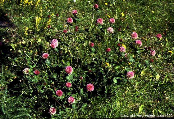 Mynd af Rauðsmári (Trifolium pratense)