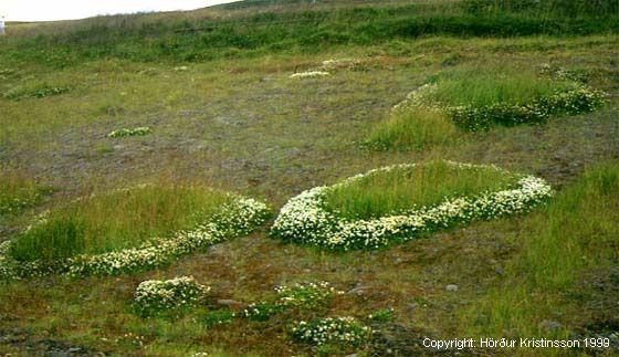 Mynd af Hvítsmári (Trifolium repens)