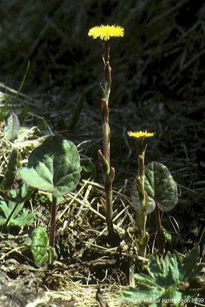 Mynd af Hóffífill (Tussilago farfara)