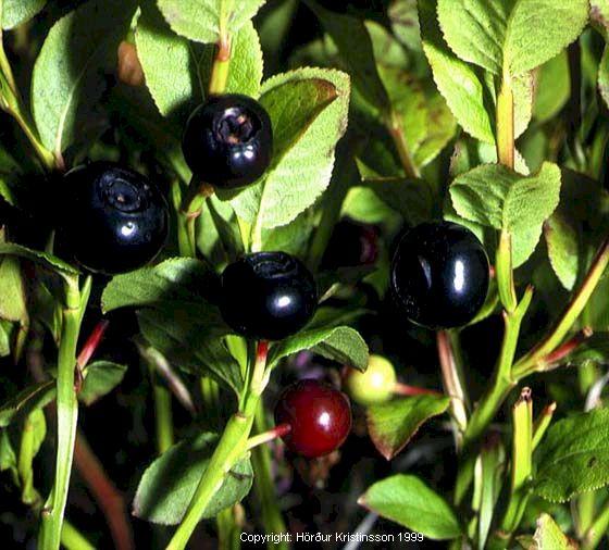 Mynd af Aðalbláberjalyng (Vaccinium myrtillus)