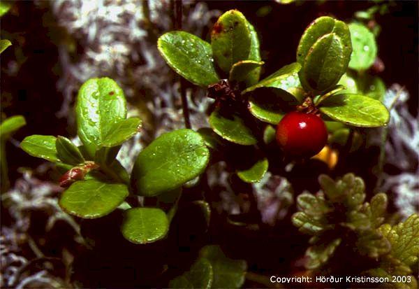 Mynd af Rauðberjalyng (Vaccinium vitis-idaea)