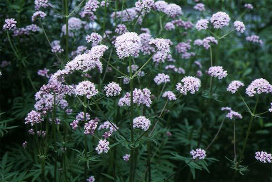 Mynd af Garðabrúða (Valeriana officinalis)