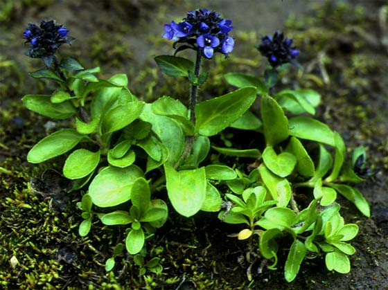 Mynd af Fjalladepla (Veronica alpina)