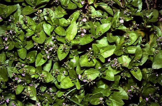 Mynd af Laugadepla (Veronica anagallis-aquatica)