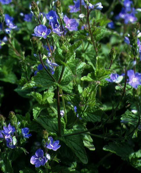 Mynd af Völudepla (Veronica chamaedrys)