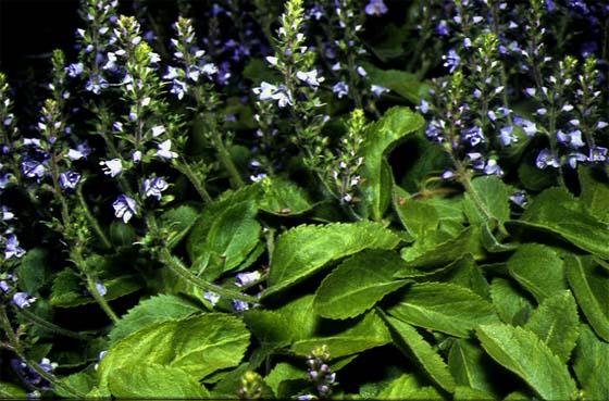 Mynd af Hárdepla (Veronica officinalis)