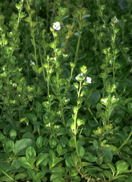 Mynd af Lækjadepla (Veronica serpyllifolia)
