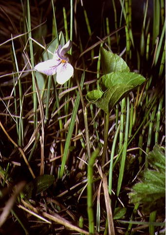 Mynd af Birkifjóla (Viola epipsila)