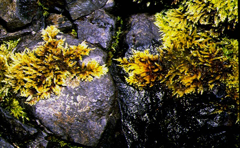 Mynd af Lækjalokkur (Brachythecium rivulare)