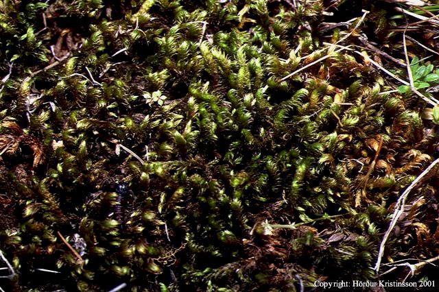Mynd af Mýrakrækja (Scorpidium revolvens)