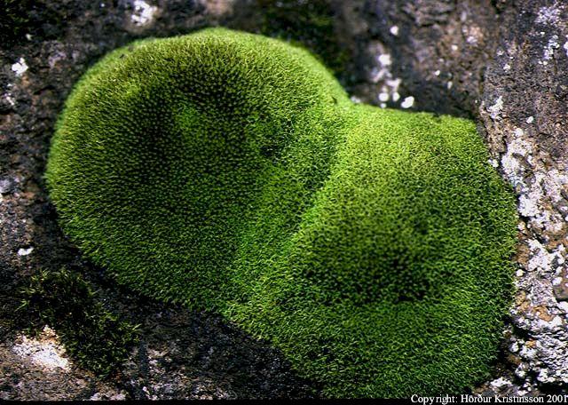 Mynd af Hrokkinskeggi (Grimmia torquata)