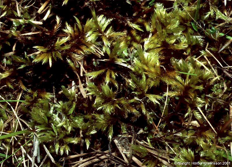 Mynd af Lémosi (Tomentypnum nitens)