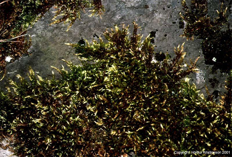 Mynd af Klettaprýði (Homalothecium sericeum)