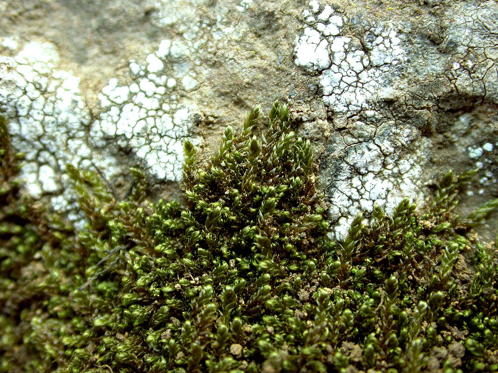 Mynd af Melafaxi (Hypnum revolutum)