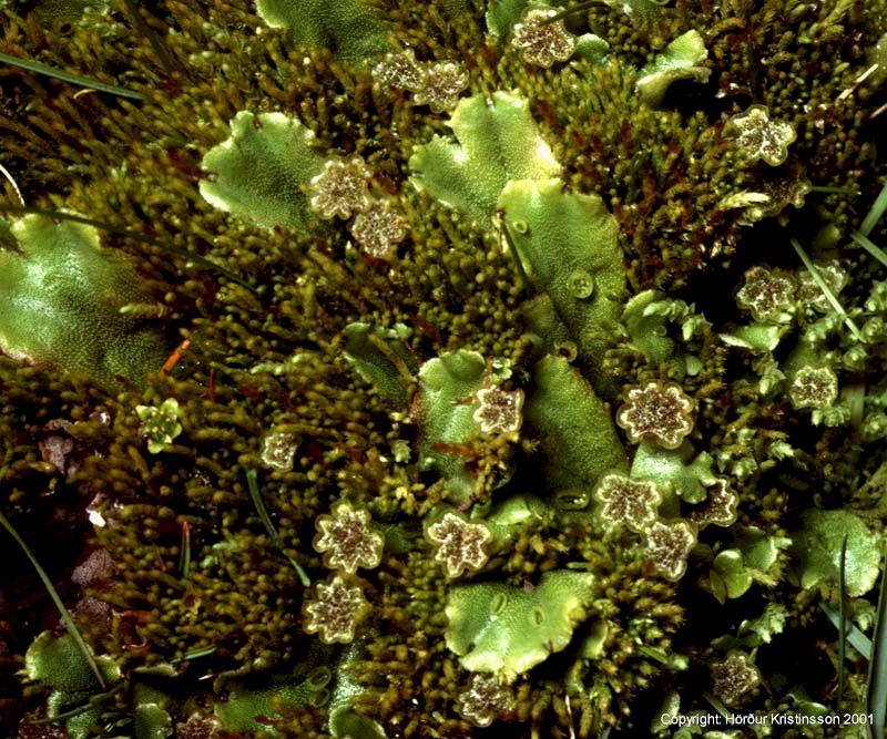 Mynd af Stjörnumosi (Marchantia polymorpha)