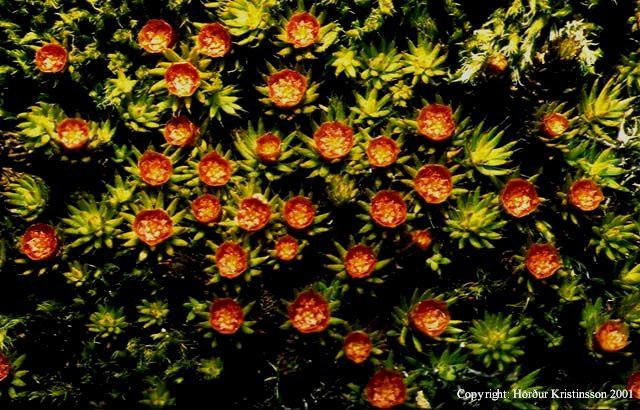 Mynd af Gráhaddur (Polytrichum piliferum)